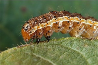 Spodoptera_frugiperda_worm